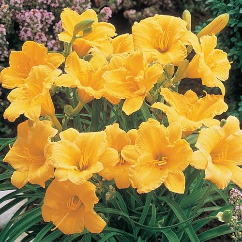 Roses In Garden: Stella D'Oro Daylilies--alternate These With Knockout