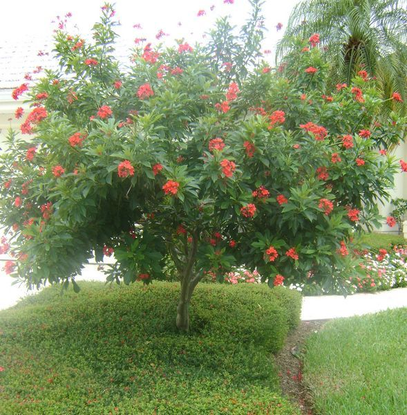 jatropha tree garden trees landscaping