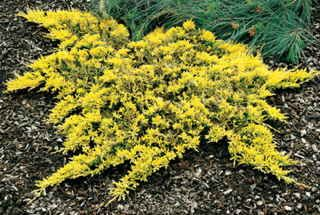 Mother Lode Juniper Zone 3 9 Habit Prostrate Plant Height 3 In Plant Width 3 Ft Additional Characteristics Easy Conifers Garden Shade Plants Easy Care Plants