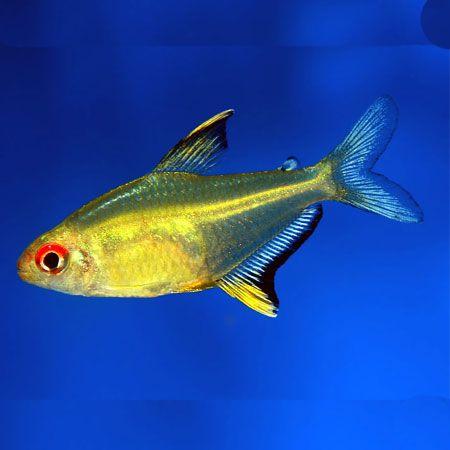 lemon tetra | Characins | Pinterest | Colors, Search and ... Yellow Tetra Fish