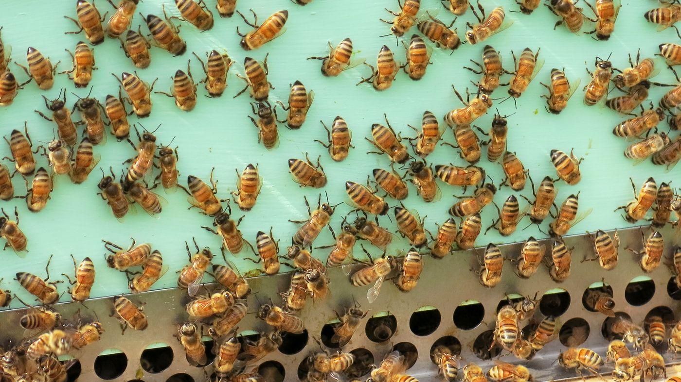a44ee90fb57fd1e733f70716a64ddeff - How To Get Rid Of Small Hive Beetle Larvae
