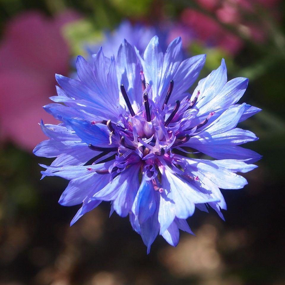 Bachelor Button Blue Boy Bachelor Buttons Cornflower Nature