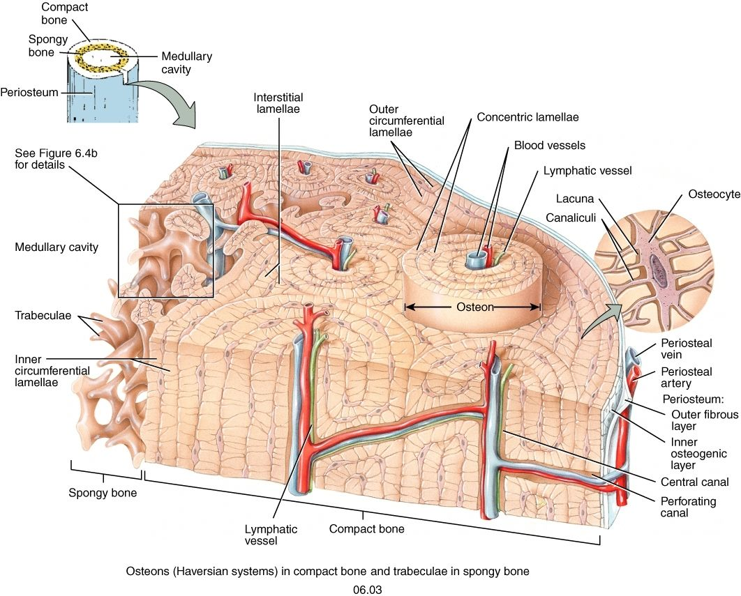 Osteon Diagram Wiring Diagram 2019