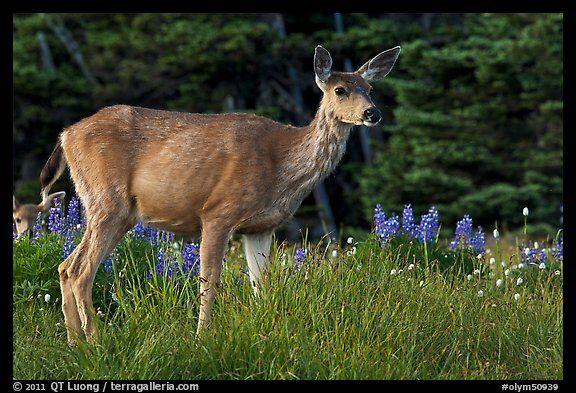 Deer in meadow with lupine. Olympic National Park (color)-Mule deer