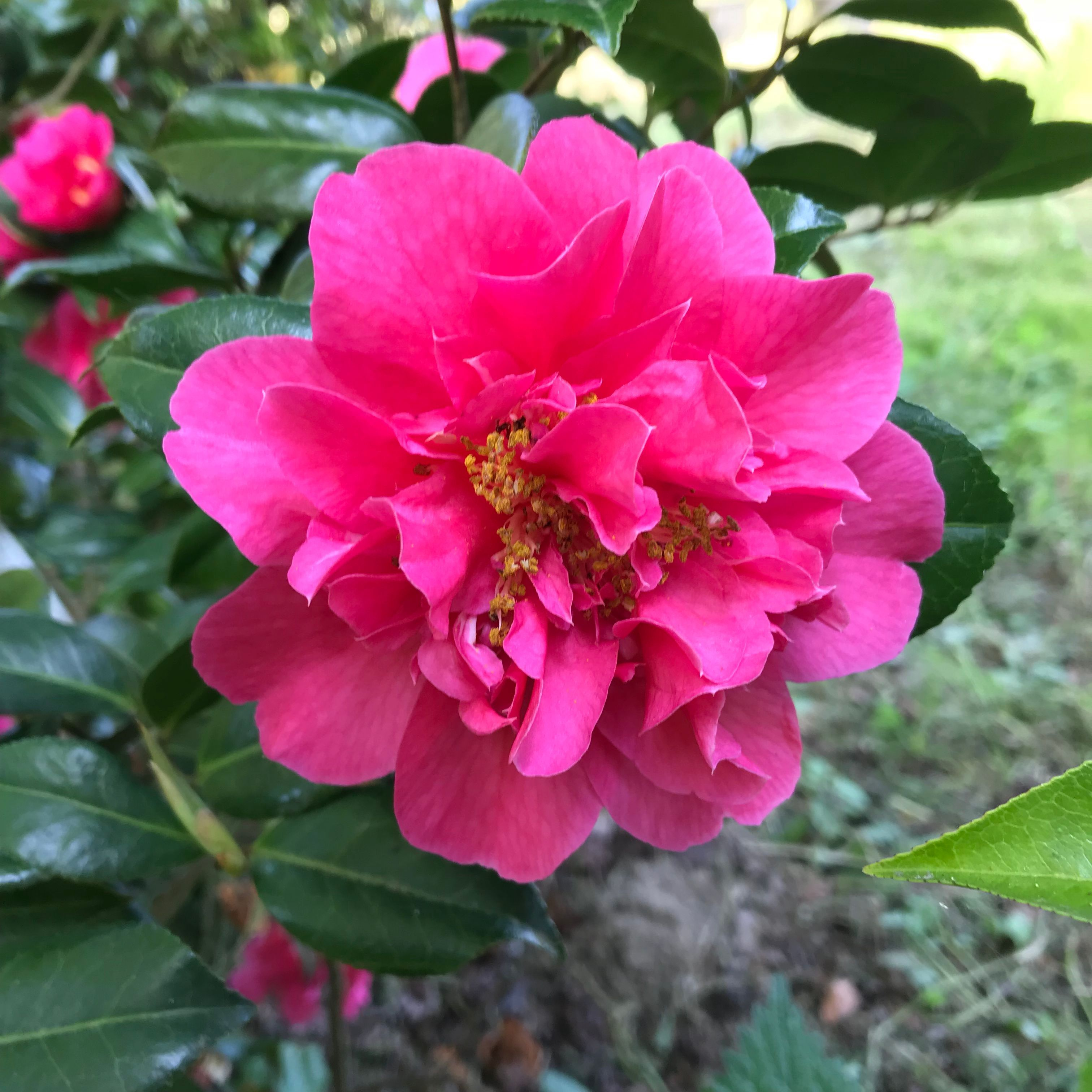 Late Flowering Camellia Fire N Ice Bowen Bryant