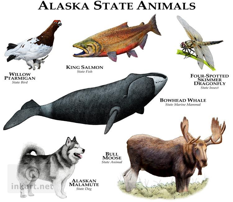 State Animals Of Alaska Line Art And Full Color Illustrations