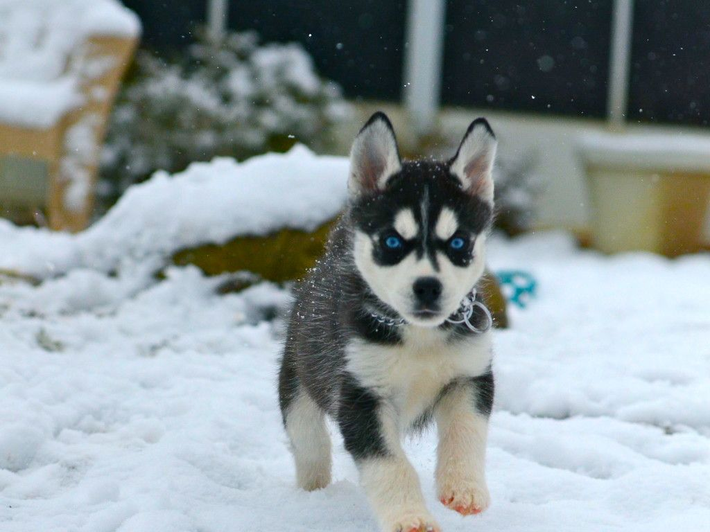 Cute Husky Puppies With Blue Eyes In Snow wallpaper