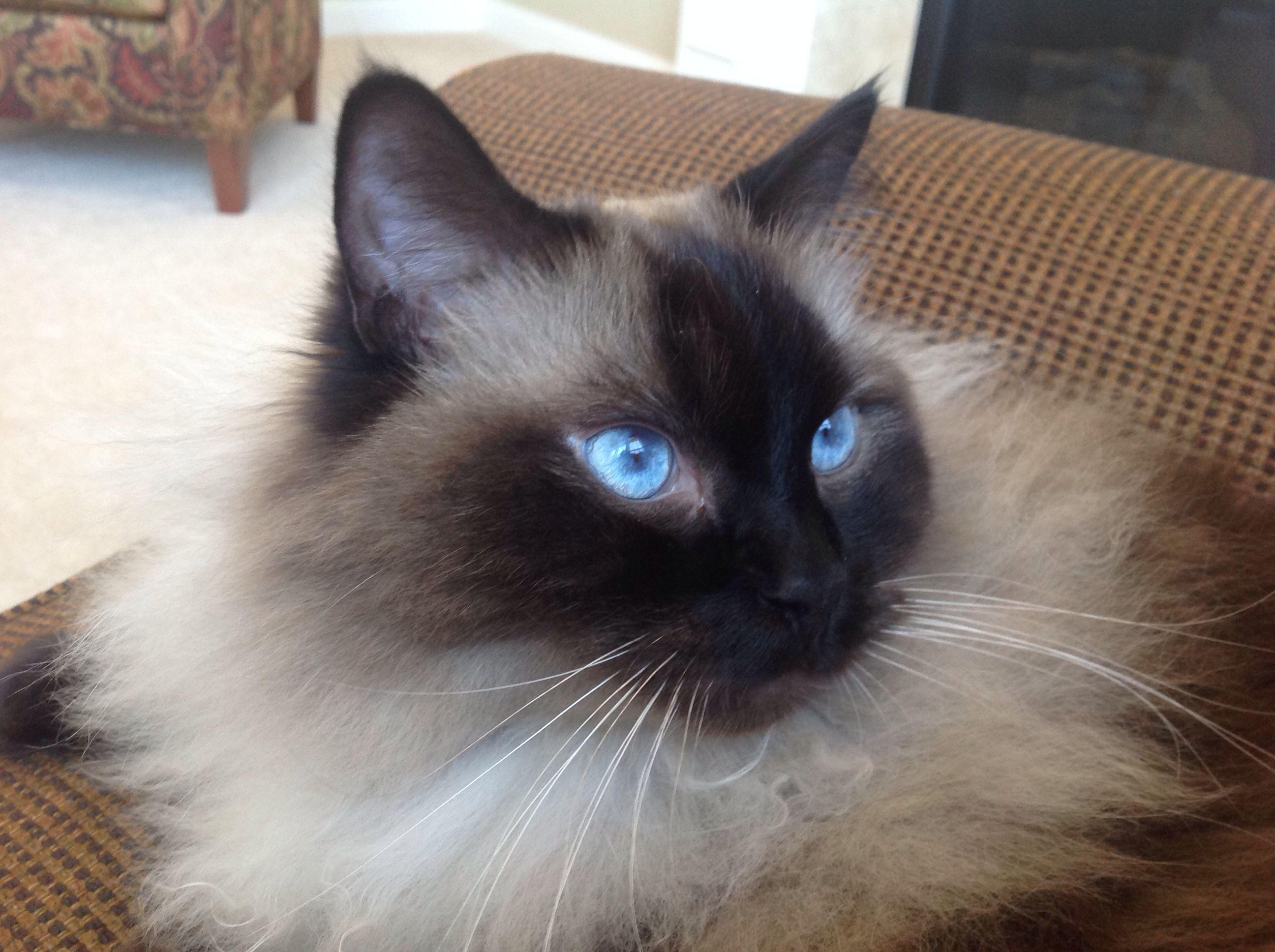 Ryker Wendell of Kikiragdolls OH Ragdolls Cat colors