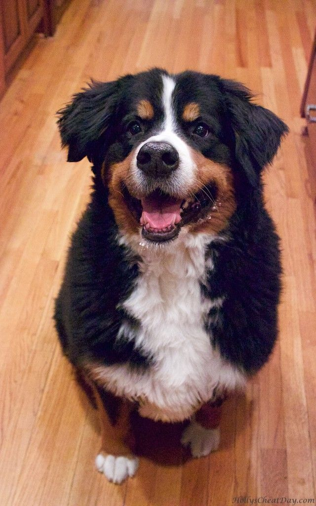 Pin On Bernese Mountain Dogs