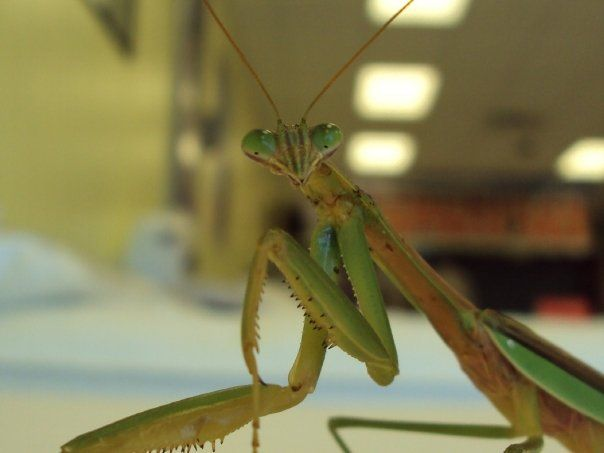 Is Seeing A Praying Mantis Good Luck