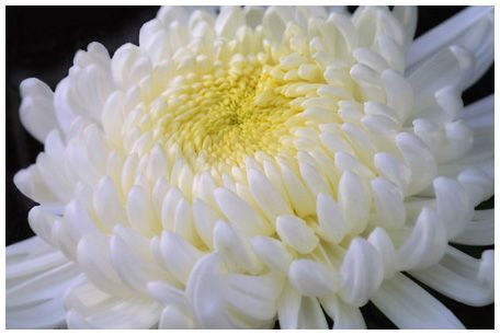 Giant white chrysanthemum my mom used to float these in bowls giant white chrysanthemum my mom used to float these in bowls and place them throughout the house mightylinksfo