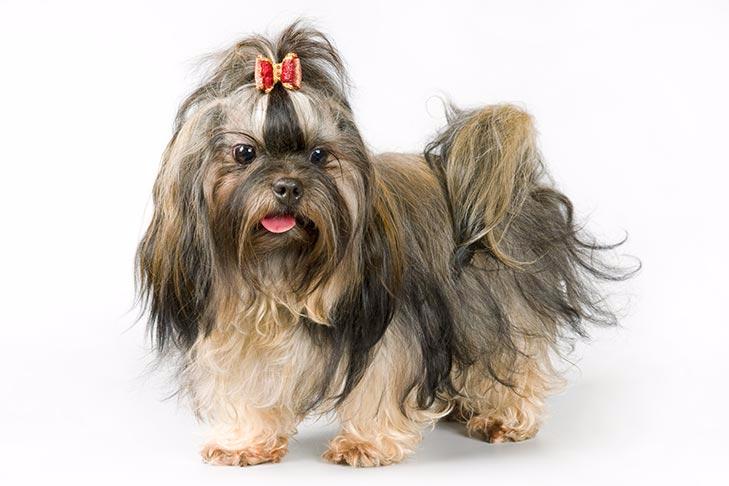 Russian Tsvetnaya Bolonka Dog Breed Information American Kennel Club In 2020 American Kennel Club Dog Breeds Breeds