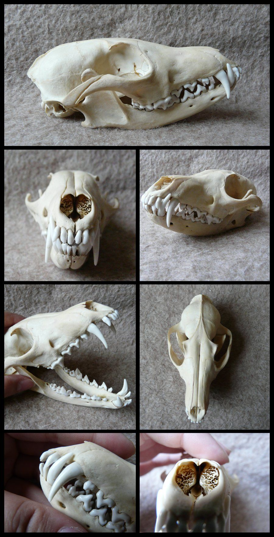 Red Fox Skull By Cabinetcuriositiesiantart On Deviantart