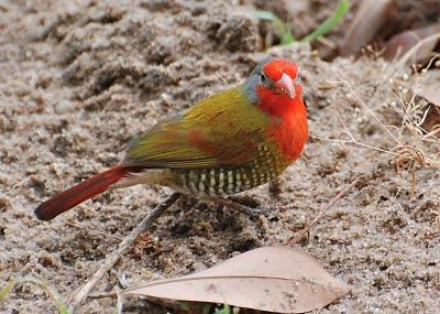 Green-winged pytilia (melba finch), found in bushveld areas throughout southern…