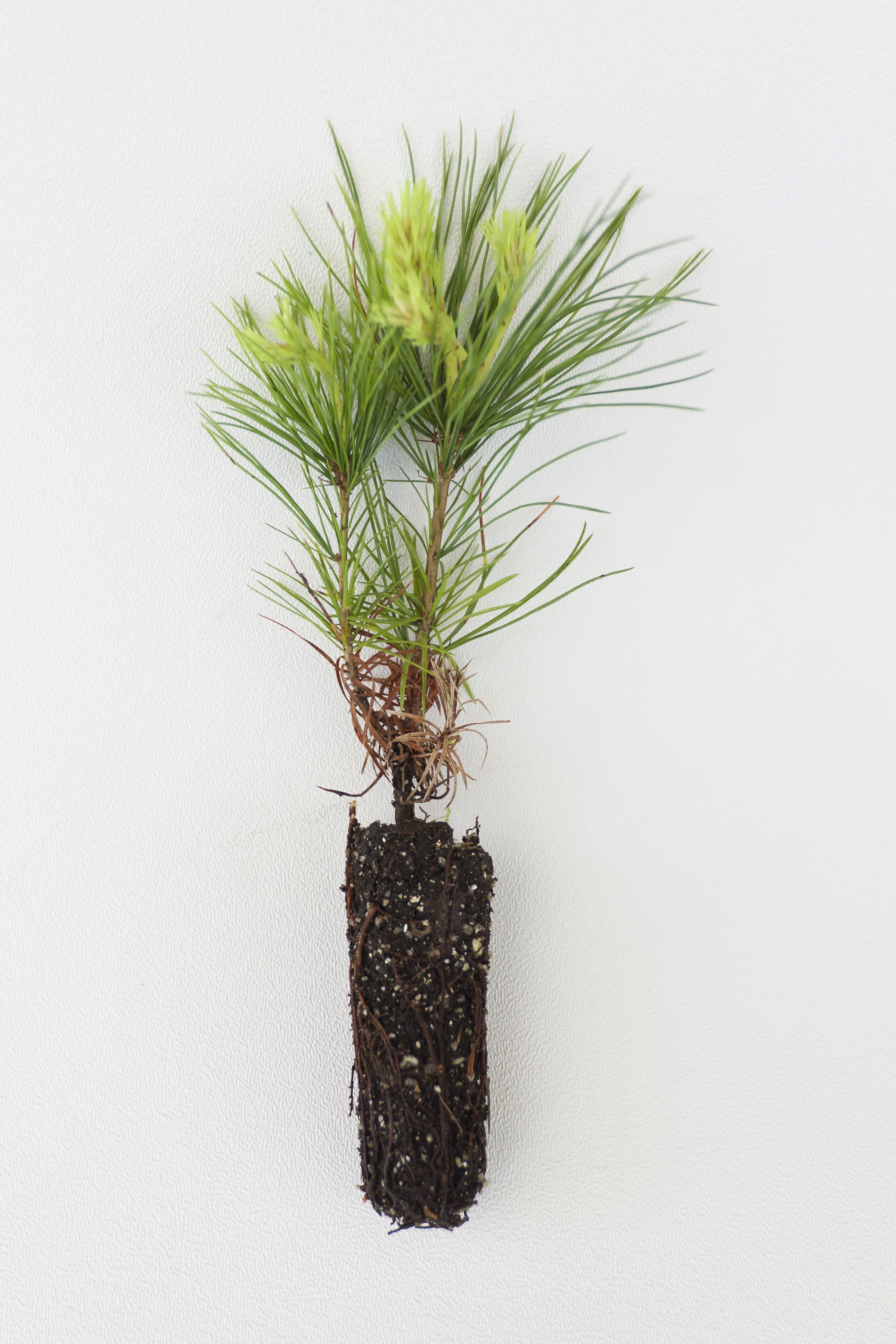 Incorporating some native tree saplings? Maybe like some plant ...