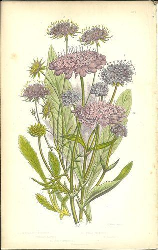 Antique Color Anne Pratt Flower Plant Print Botanical Plate 105 c.1850