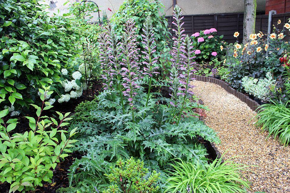 Acanthus Spinosus Plantsherbs Garden Herbaceous Perennials Plants