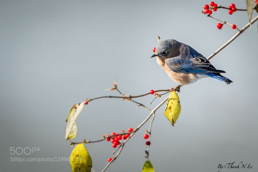 bluebird de AnthonyLe2