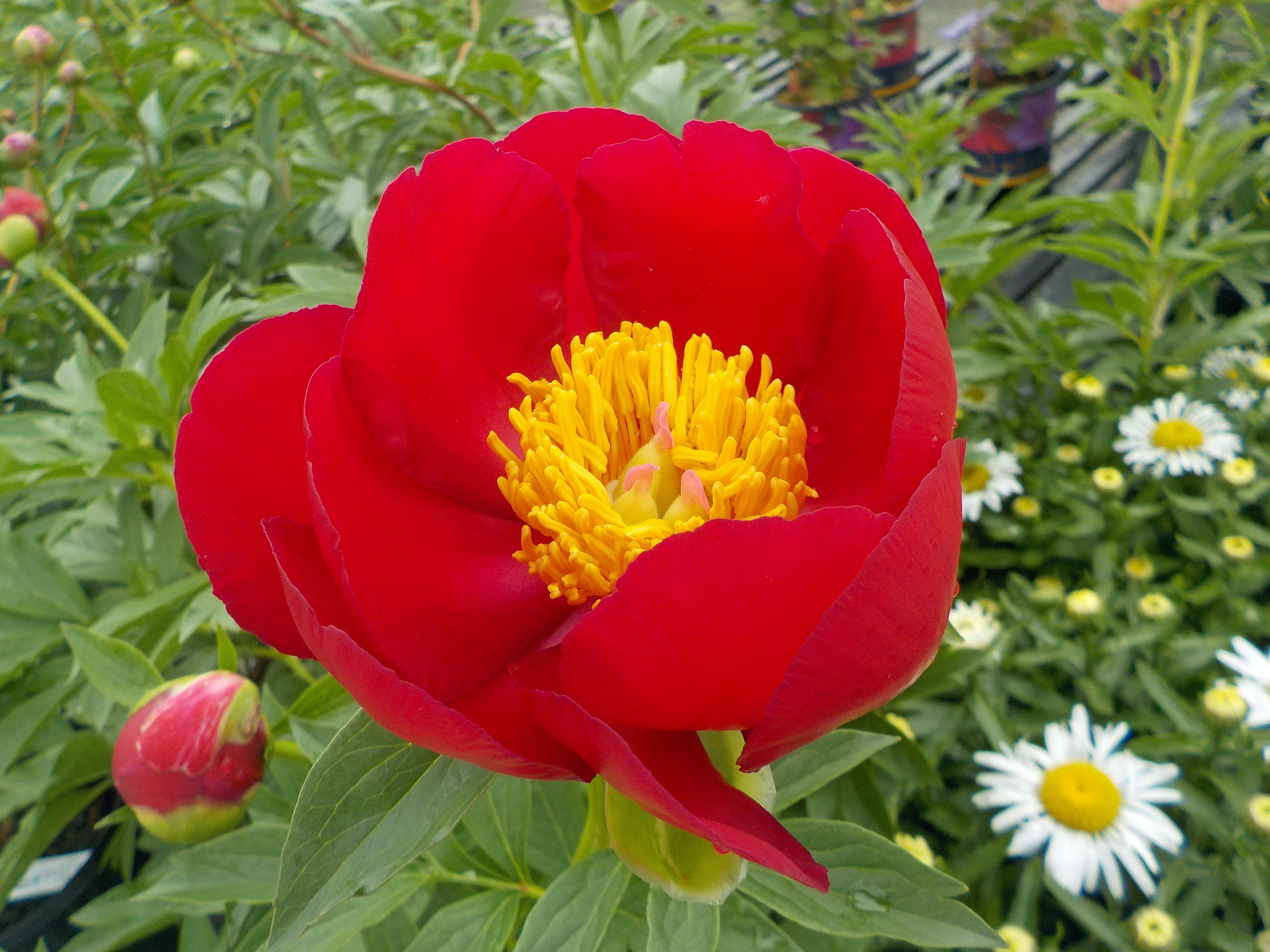 Our Peonies Are In Bloom As Fiery As Ms Ohara Herself The