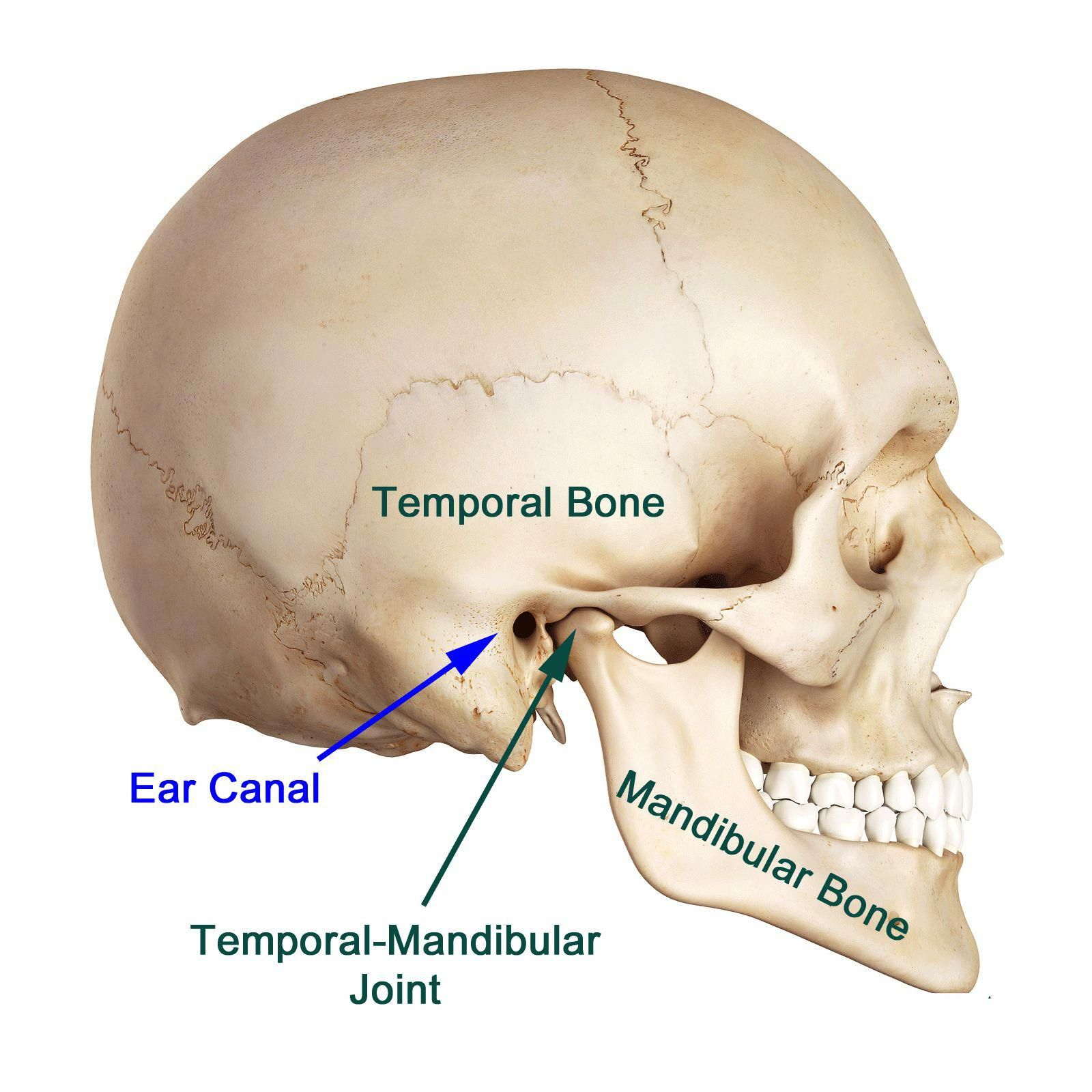 jaw joint pain just like other joints in the body the temporo mandibular joint or jaw joint suffers arthritis and severely painful condition called as  [ 1600 x 1600 Pixel ]