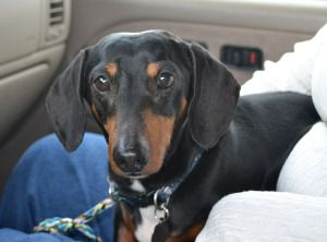 Beanie Is An Adoptable Dachshund Dog In Atlanta Ga Hi My Name
