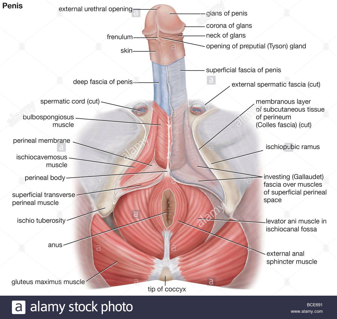 Human male anus final