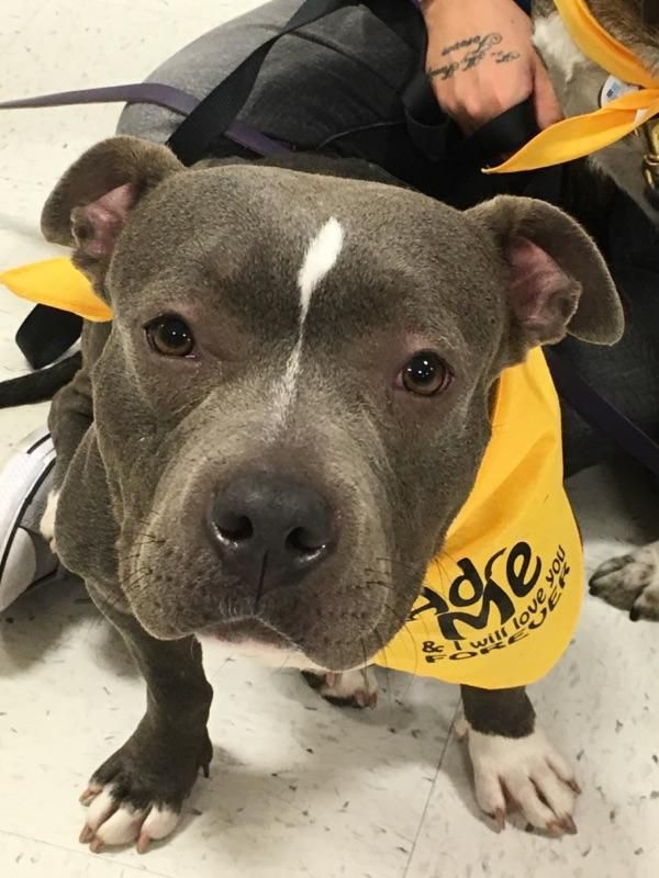 Adopt Bonnie POCKET PITTY on Pitbull terrier, Bull
