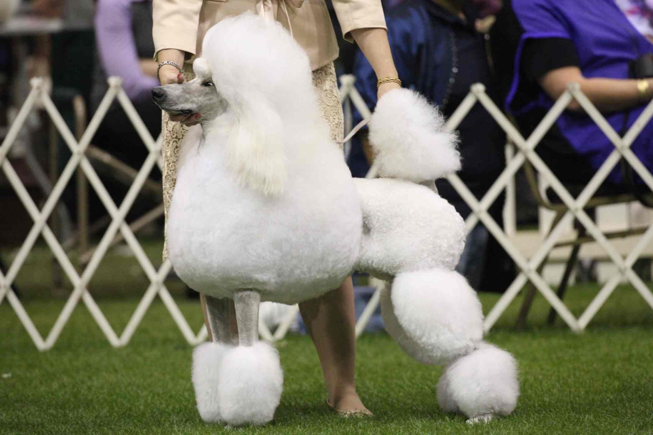 Small Hobby Breeder Of Standard Poodles In St Louis Missouri