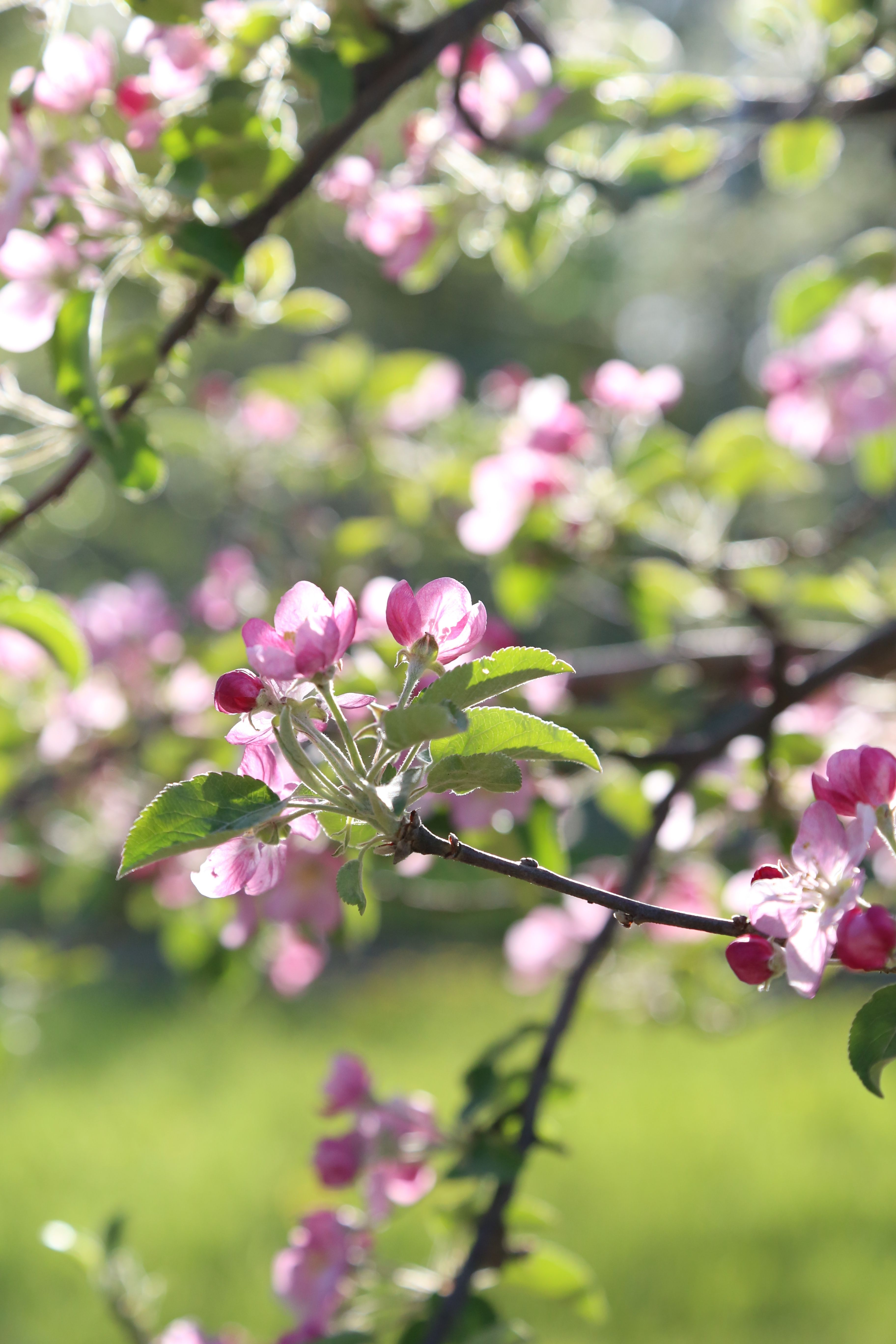 Pink Pearl Apple Blossoms May 11 2019 Apple Blossom Pink Pearl Tree Farms