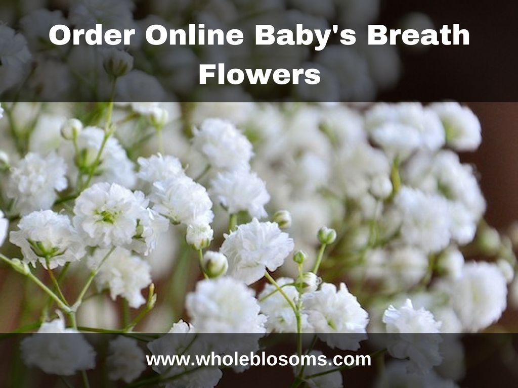 Baby S Breath Flowers Are Mostly Used As Filler In Floral Arrangements If You Want To Buy Fresh Baby S Brea Babys Breath Flowers Babys Breath Flowers For Sale