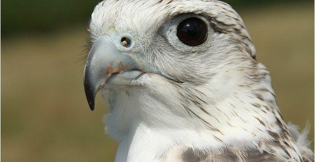 صور صقور أجمل خلفيات وصور الصقور رمزيات صقور روعة موقع حصري Hawk Pictures Free Images Bird