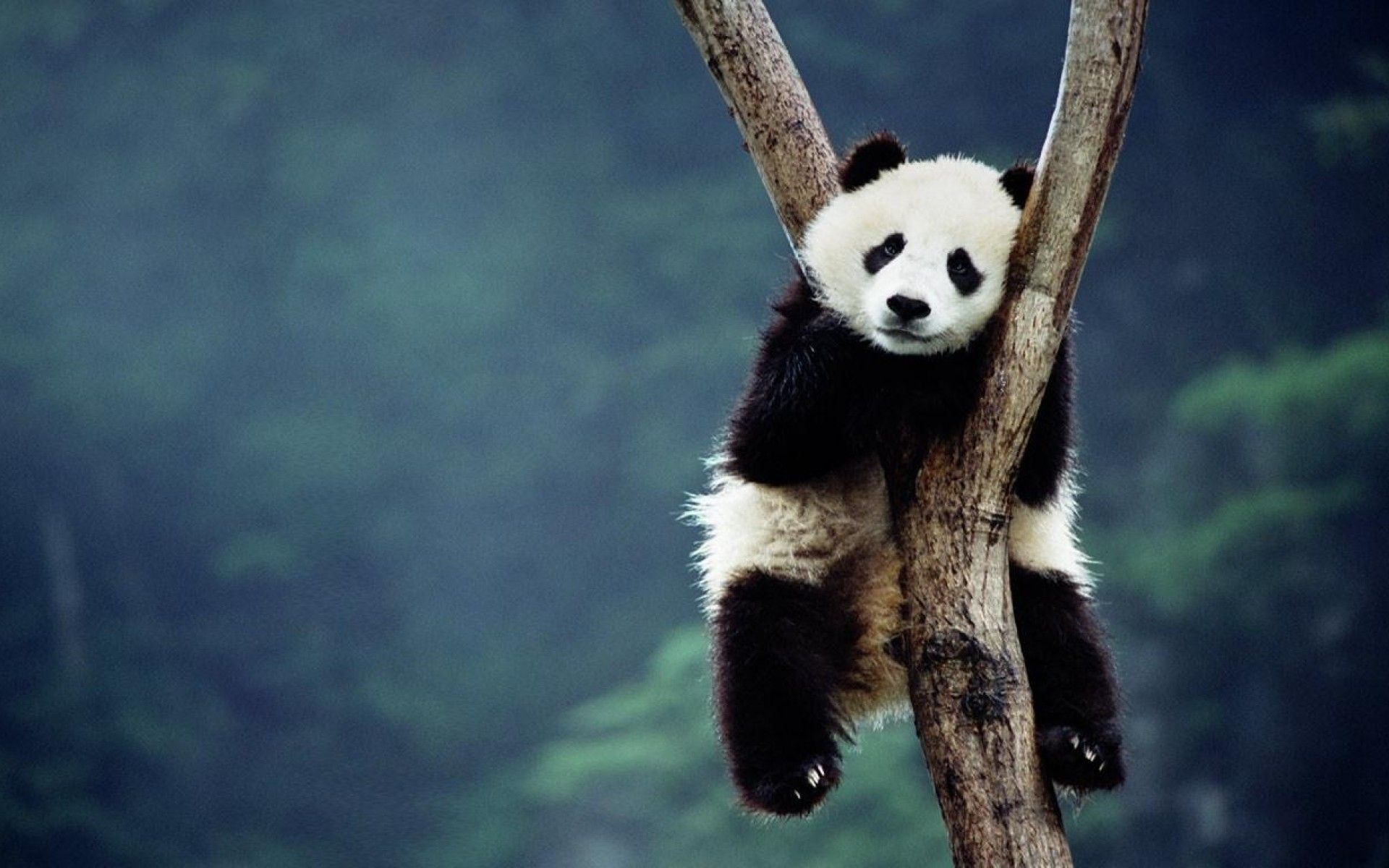 Picture Of Cute Baby Panda Bear Wallpaper Hd