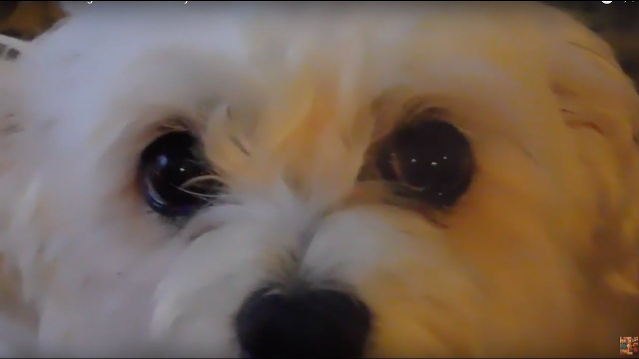 Crazy growling angry barking cute funny maltese dog fur baby plays