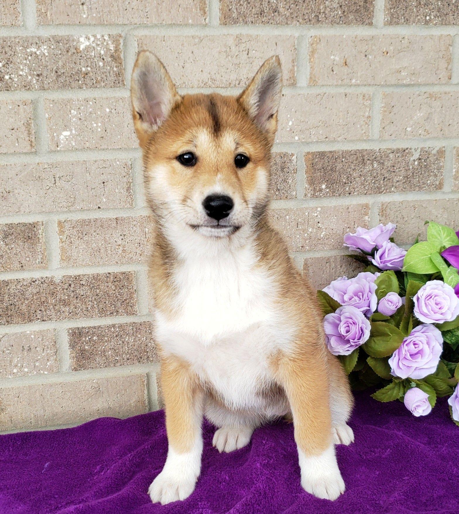 Puppies for Sale Dog breeder, Shiba inu puppy, Puppy