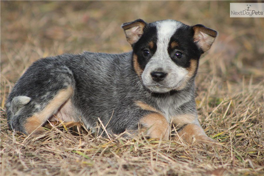 Australian Cattle Dog Puppy For Sale Uk Australian Cattle Dog