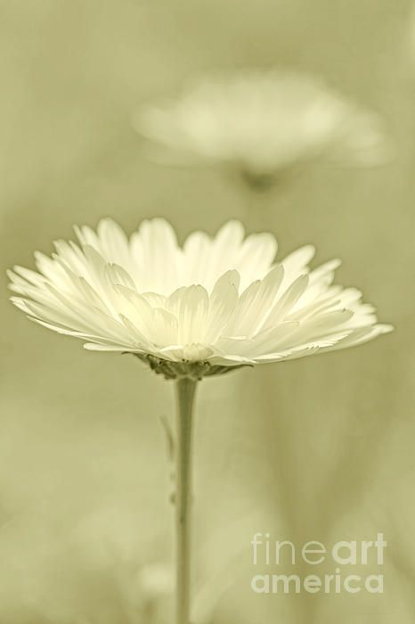 Daisy Flower In Pose Olive Green by Jennie Marie Schell