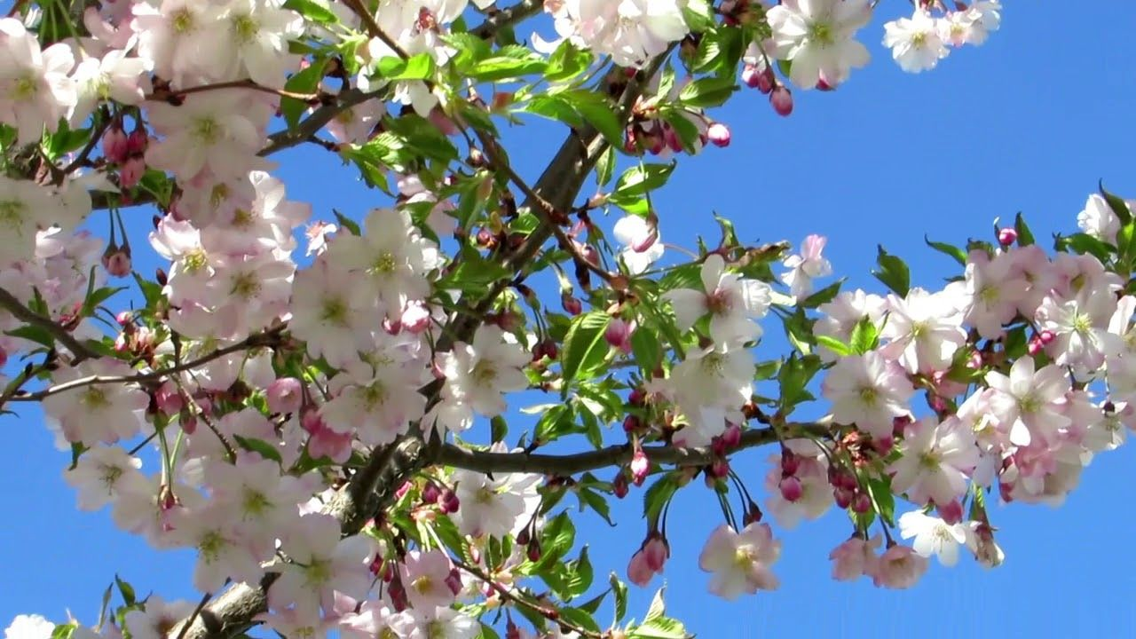 My Beautiful Cherry Blossom Tree Is In Full Bloom May 5 2019 Cherry Blossom Tree Ornamental Cherry Blossom Trees