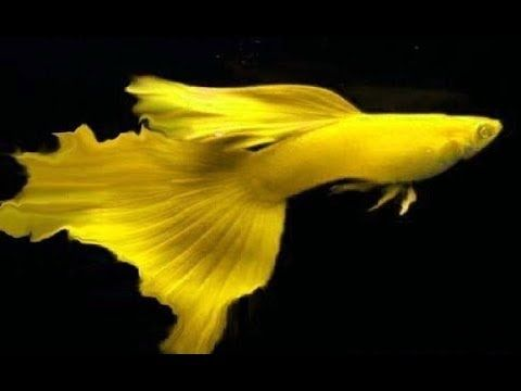 Rarest Guppies Around The World Youtube Guppy Fish Guppy Aquarium Fish
