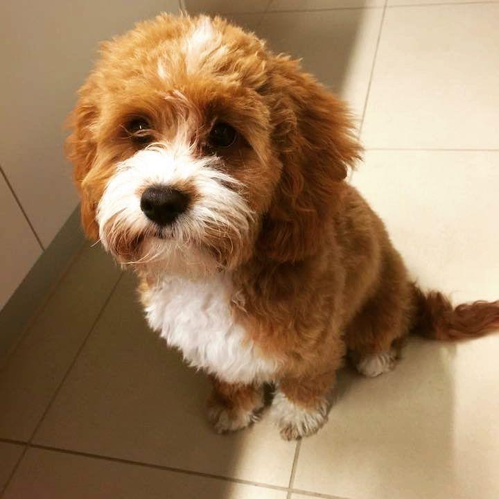 Chevromist Kennels Chevromist Instagram Photos And Videos Japanese Spitz Puppies Photo