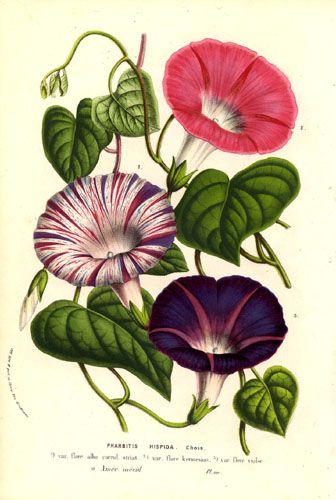Ipomoea purpurea (common morning glory): tips and legends ... Morning Glory Botanical Drawing
