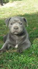 Blue Staffy Puppys Puppies For Sale Maclean New South Wales