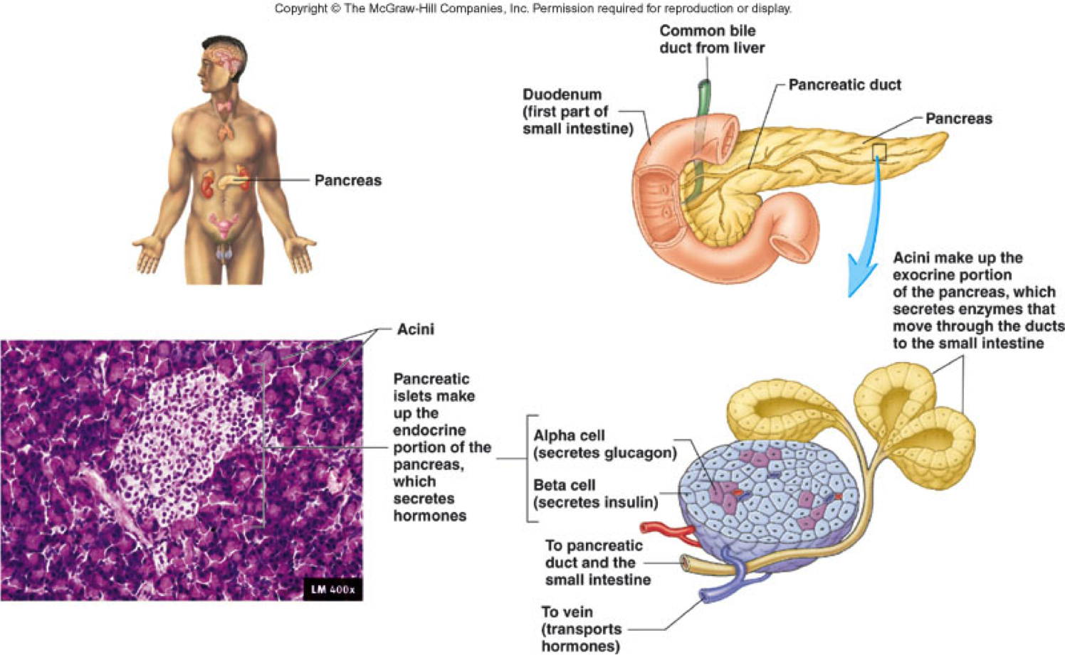 Endocrine Pancreas Function Knowing Deeper About Endocrine