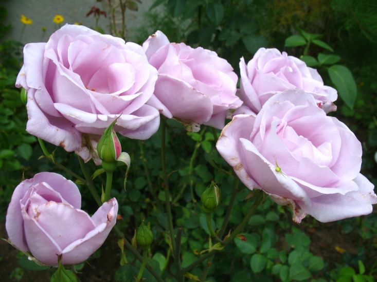 Роза mainzer fastnacht