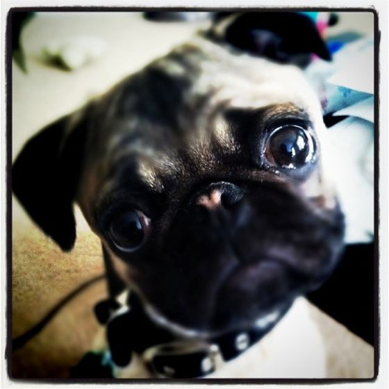 My Pug Baby And Her Pink Heart Nose With Images Cute Pugs