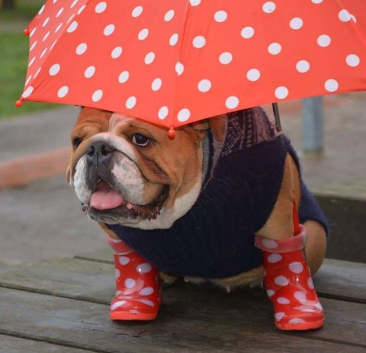 Ready Fer Da Rain English Bulldog Funny Bulldog Bulldog Funny