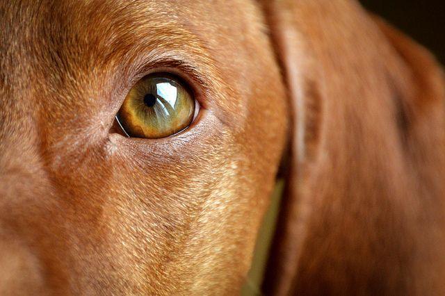 My Vizsla Chilla S Eye Close Up Vizsla Eye Close Up Vizsla Dogs