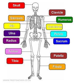 science - the human skeleton | stuff for class | pinterest | the o, Skeleton