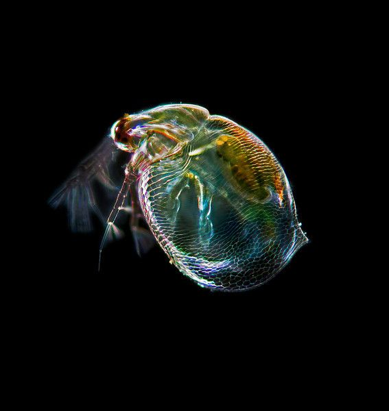 Ceriodaphnia Sp A Water Flea The Size Of The Animal Is About 0 5
