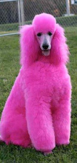 Now My Puppy Daisy Is Doomed This Is Her Future Pink Poodle