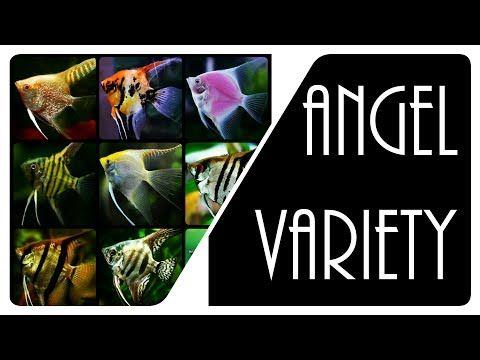 All The Varieties Of Freshwater Angelfish Is Shown In This Video